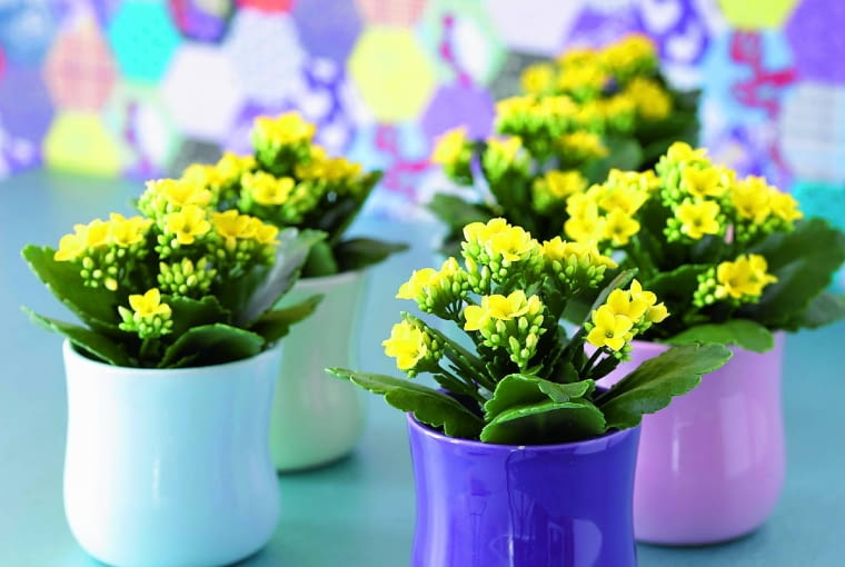 Kalanchoe lubi słońce, nie znosi zalewania. Aby roślina znów zawiązała pąki kwiatowe, należy przyciąć przekwitłe kwiatostany.