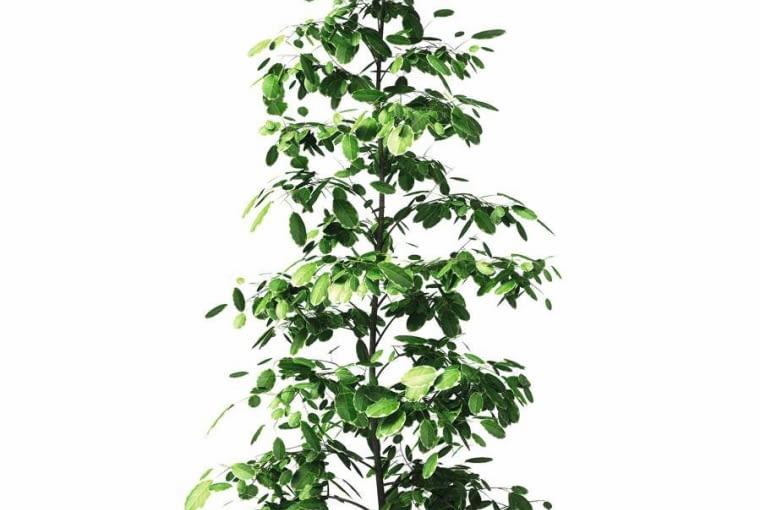 FIKUS BENJAMINA ?GOLDEN KING' (F. benjamina), gdy ma mało światła, może gubić liście.