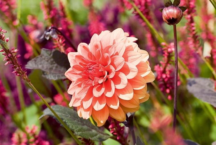 'Melody Dora' - dalia dekoracyjna, wys. 60-90, śr. 'kwiatu' 12 cm.