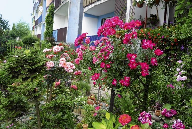 Róże pną się ku niebu - na kratownicy 'Prickly Red', a obok na pniu 'Rosarium Uetersen'.