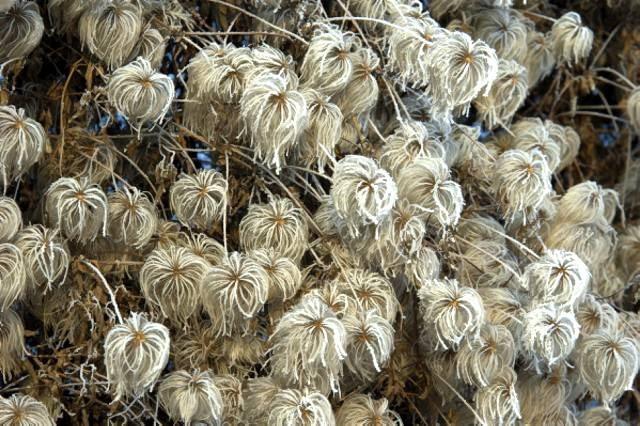 Ogrodzeniom dodają wdzięku oszronione suche owocostany powojnika (Clematis)'Lambton Park' z grupy Tangutica