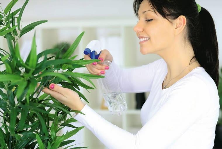 Nie należy zraszać zakurzonych roślin, bo wilgotny kurz jeszcze silniej przywiera do liści