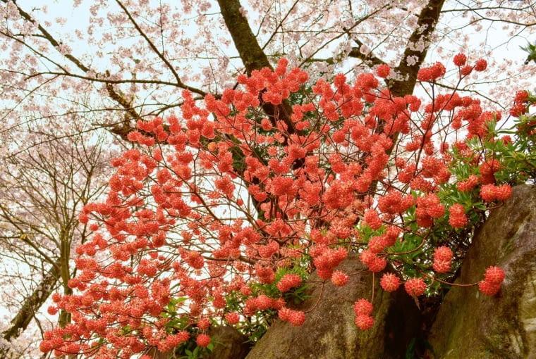 Kwitnącą na pomarańczowo odmianą edgeworthii jest 'Red Dragon'. Żółte kwiaty ma 'Grandiflora'. Obie bywają wsprzedaży wsklepach internetowych np. ogrodkroton.pl, bakker.com/pl.