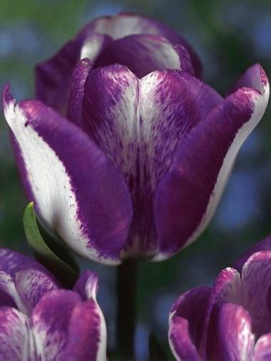 Tulipan Hotpants. Rośliny cebulowe