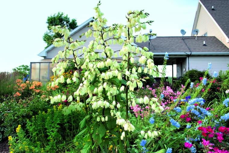 Juka jest byliną tzw. architektoniczną, zdobiącą rabaty swą posturą i olbrzymimi kwiatami.