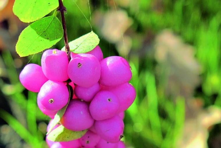 Śnieguliczka Doorenbosa 'Mother of Pearl' (S. ×doorenbosii) jest - jak na śnieguliczkę - okazała; po 10 latach dorasta do wysokości 2 m. Jesienią szybko traci liście, ukazując liczne owoce z różowym rumieńcem, skupione w dużych gronach. Wiotkie gałązki aż uginają się pod ich ciężarem. Owoce utrzymują się zwykle do końca roku. Krzewy najładniej prezentują się w większych grupach.