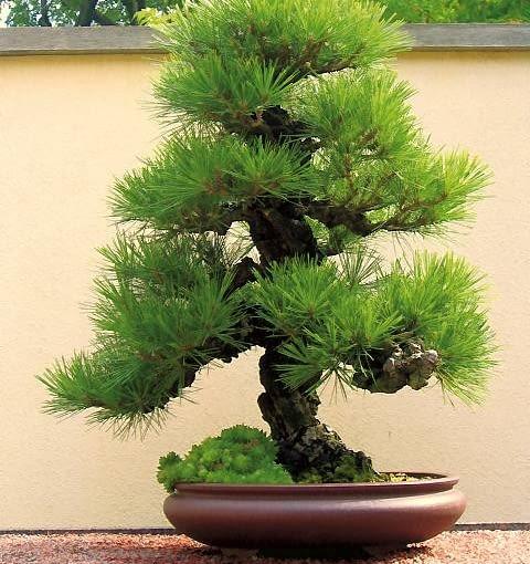 Formowanie bonsai wymaga czasu i cierpliwości. Ale można kupić gotowe drzewko ukształtowane przez producenta.