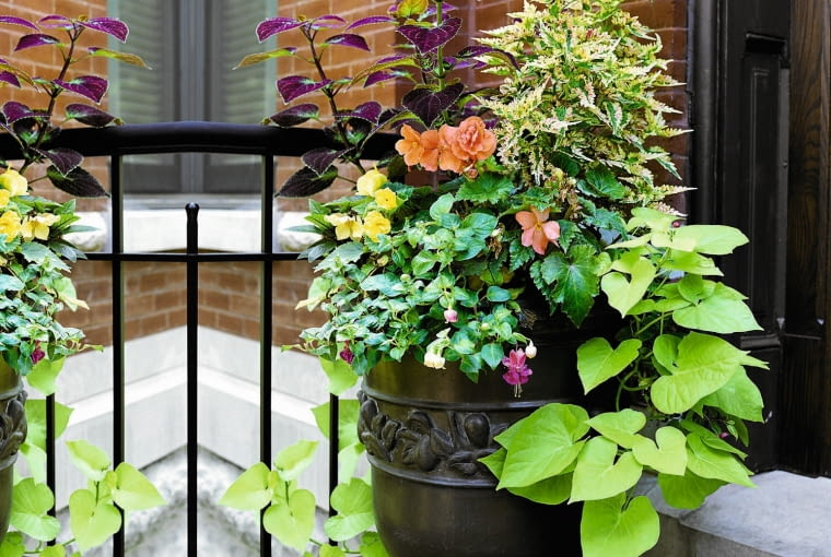 Entryway Container planting SLOWA KLUCZOWE: bca70519 assortment Begonia chartreuse chartreuse foliage coleus combination entrance Fuchsia garden golden golden foliage Ipomoea natural light outdoor outside patio porch potted potted plant Solenostemon sweet potato vine traditional tuberous begonia urban variety nobody