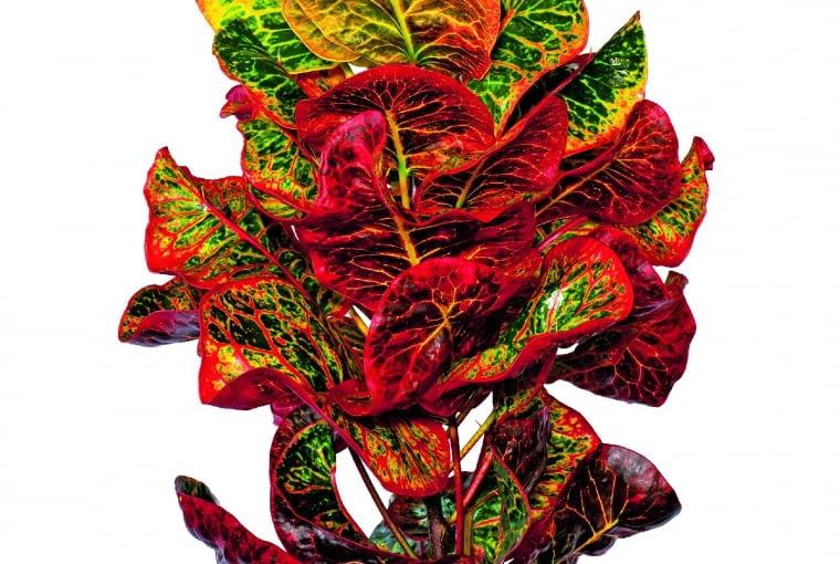 Kroton ma bardzo wiele odmian oróżnych odcieniach ikształtach liści. Najsilniej wybarwia się na słonecznych parapetach, ale nie lubi suchego powietrza.