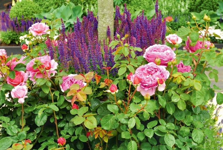 Róże rabatowe iszałwia omszona tworzą wspaniałą oprawę.