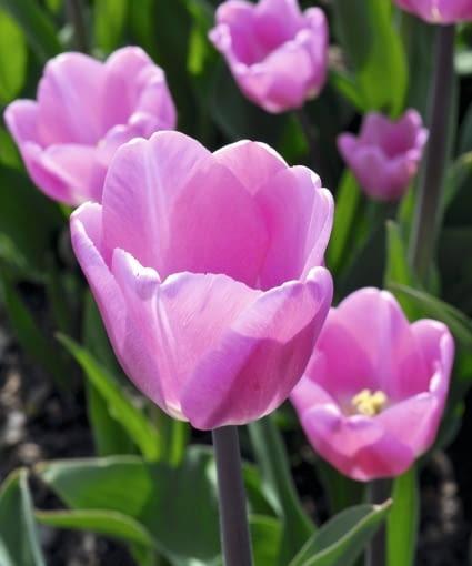 Tulipan (Tulipa). Kwiaty cebulowe