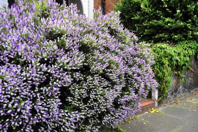 W ciepłym klimacie hebe tworzy okazałe kępy. Krzewy wykorzystywane są do tworzenia żywo- płotów. Wspaniale wyglądają w czasie kwitnienia