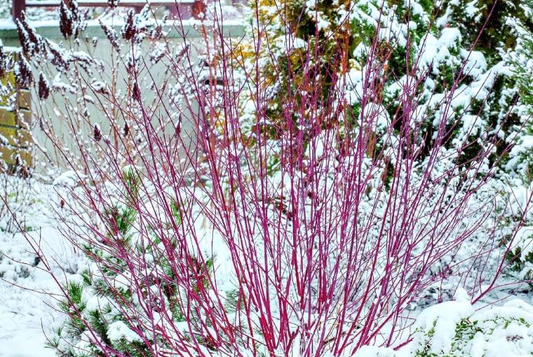 Uroda czerwonych gałązek derenia białego (Cornus alba) 'Sibirica' w krajobrazie zimowego ogrodu nie ma sobie równych.