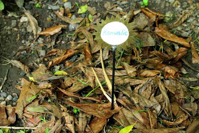 Wybrane pędy kwiatowe konwalii dołuje się i przykrywa grubą warstwą liści