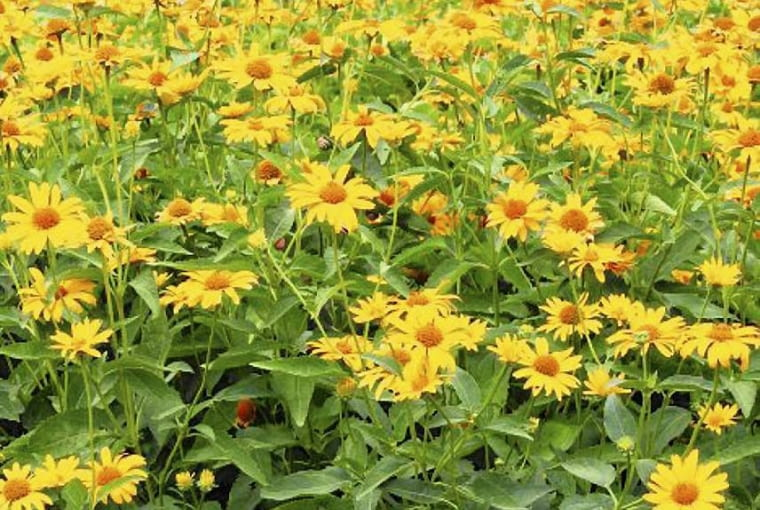 Słoneczniczek szorstki (Heliopsis scabra)