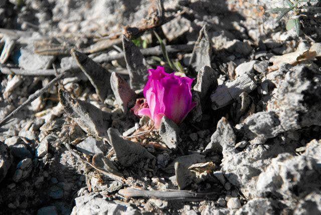 Ciemnoróżowy kwiat A. scapharotrus