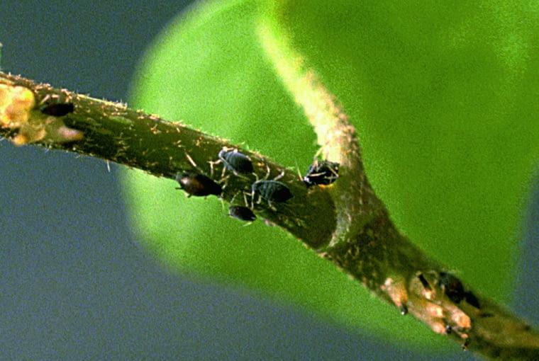 Na pędach bluszczu żerują czarne owady. Przyczyna: mszyce.
