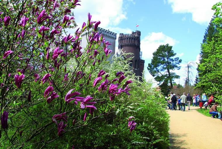 """Magnolia """"Susan"""" i tawuła wczesna witają turystów przed wejściem do Zamku Kórnickiego i Arboretum."""