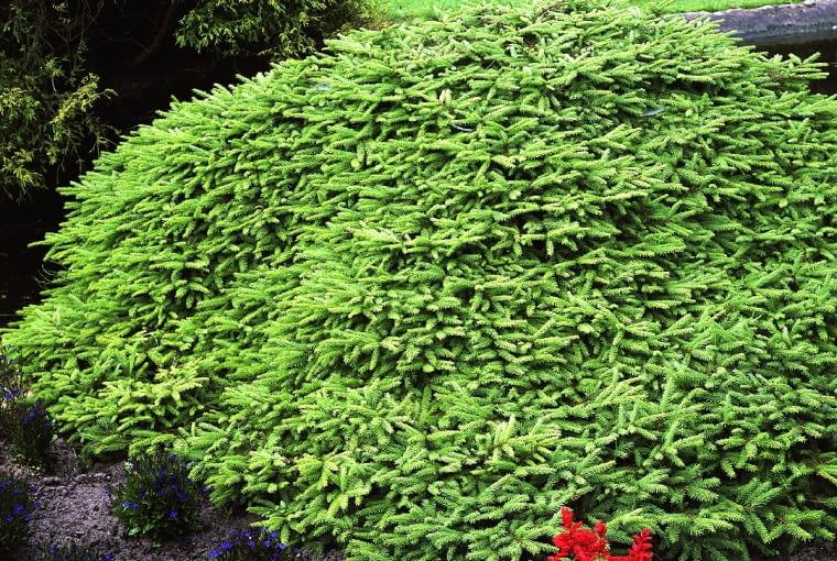 Świerk pospolity (Picea abies) 'Nidiformis'