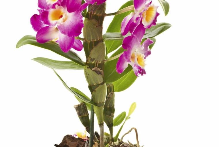Dendrobium tworzy mięsiste pędy zwane pseudobulwami. Storczyk nawozimy dolistnie lub płynną odżywką, aplikowaną do podłoża.
