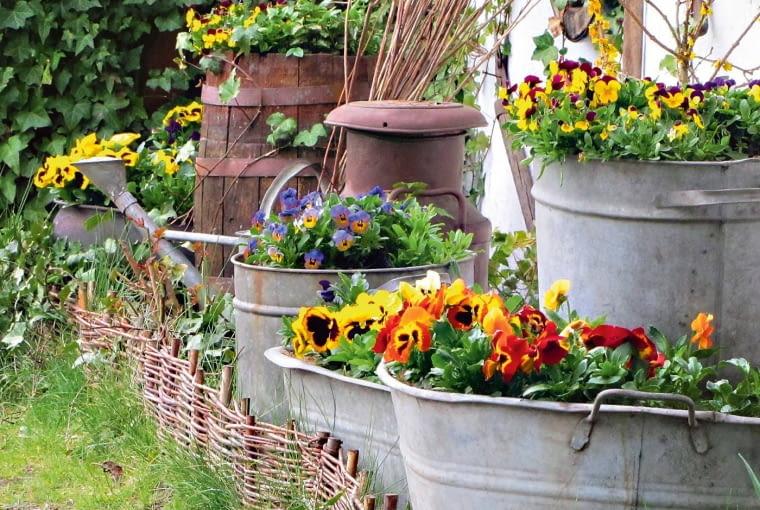 Już od marca wszystkie ogrodowe pojemniki zapełniają się kolorowymi bratkami.