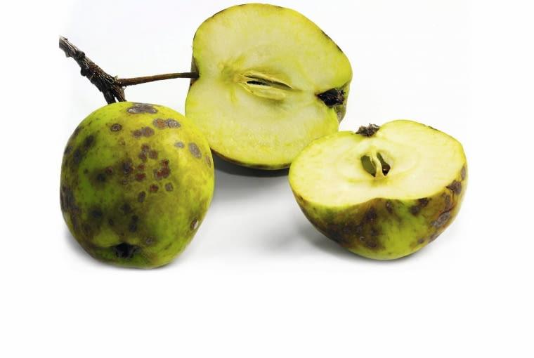 Ciemne plamy są objawem gorzkiej zgnilizny jabłek - choroby występującej w przechowalniach