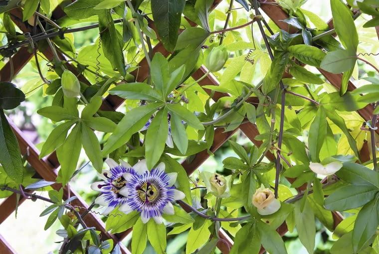 Męczennica błękitna (Passiflora caerulea)