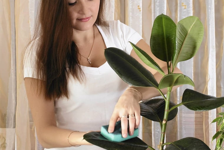LIŚCIE FIKUSA sprężystego można oczyścić z kurzu lekko wilgotną gąbką.