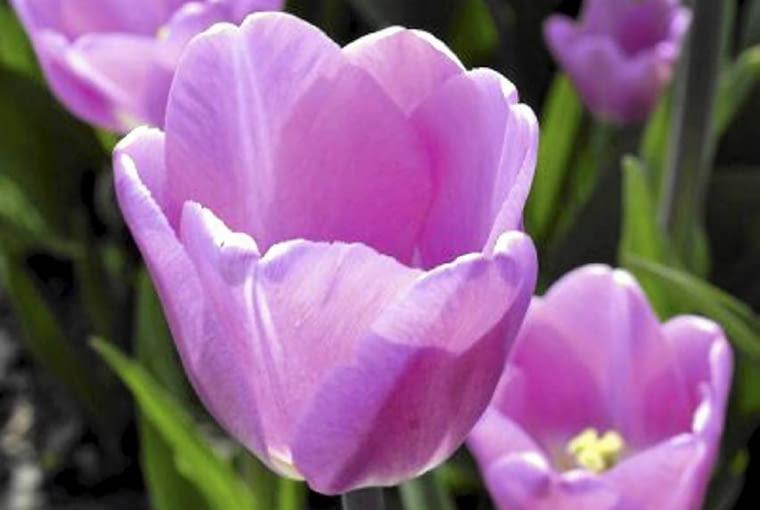 Kwiaty cebulowe. Tulipany występują w tysiącach odmian (tu 'Candy Fox'). Najwcześniejsze zakwitają pod koniec marca, późne dopiero w połowie maja
