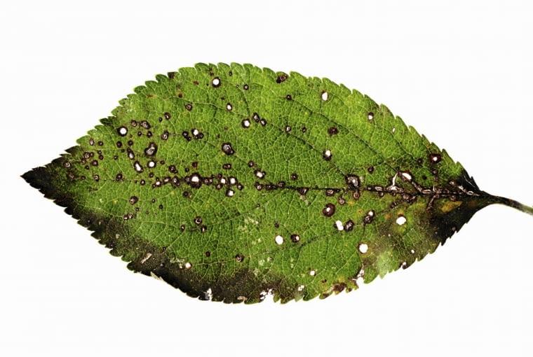 Dziurkowatość liści na liściach śliwy