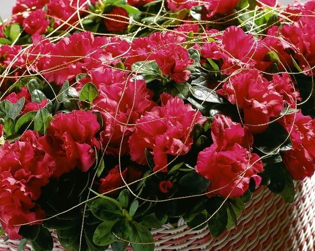 Najbardziej popularne są azalie o pełnych, lekko karbowanych kwiatach w różowym kolorze.
