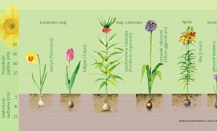 Kwiaty cebulowe. Terminy kwitnienia i rozmiary roślin