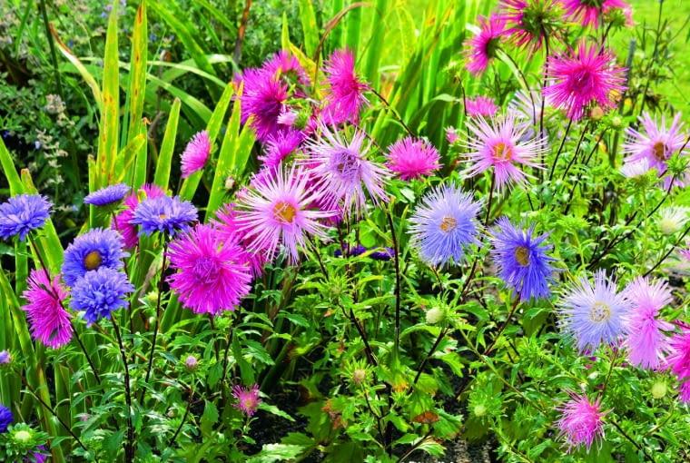 Najefektowniejsze są kwiatostany, które rozwijają się pierwsze. Te na bocznych pędach nie dorównują im wielkością.