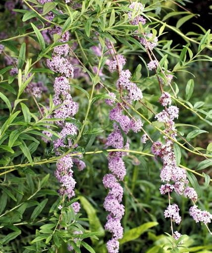 BUDDLEJA ALTERNIFOLIA (AGM)