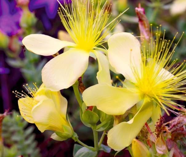 Dziurawiec olimpijski 'Citrinum' to odmiana bylinowa o wyjątkowo jasnej barwie kwiatów