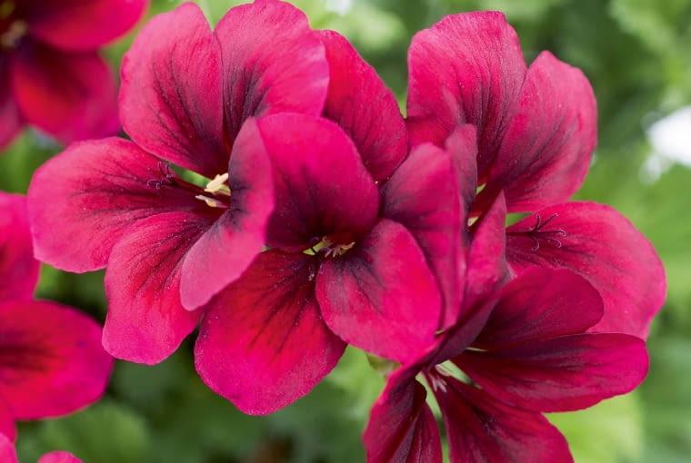 'Novita Purple Red' wielkokwiatowa