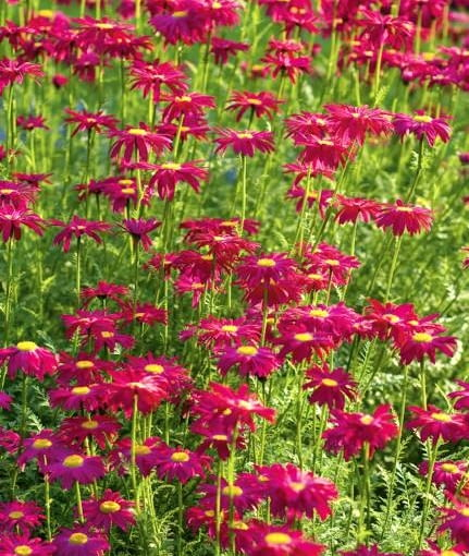 Painted daisy (Tanacetum coccinea syn Chrysanthemum coccineum) 'Robinson's Red' with veronica (Veronica androvskiana) in background *** Local Caption *** Exclusive Image *** Local Caption *** Exclusive Image
