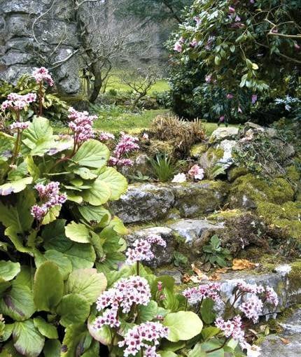 Bergenia (Bergenia) beside stone steps, Spring, Higher Knowle, Lustleigh, Devon, UK