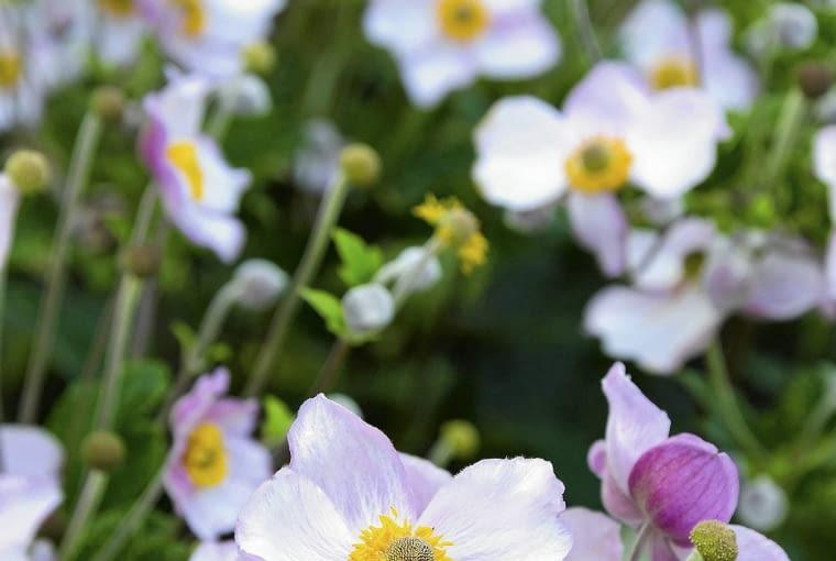 Zawilec japoński (Anemone hupehensis)