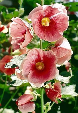Niektóre malwy trudno sklasyfikować ponieważ kwiaty tego gatunku łatwo się krzyżują.