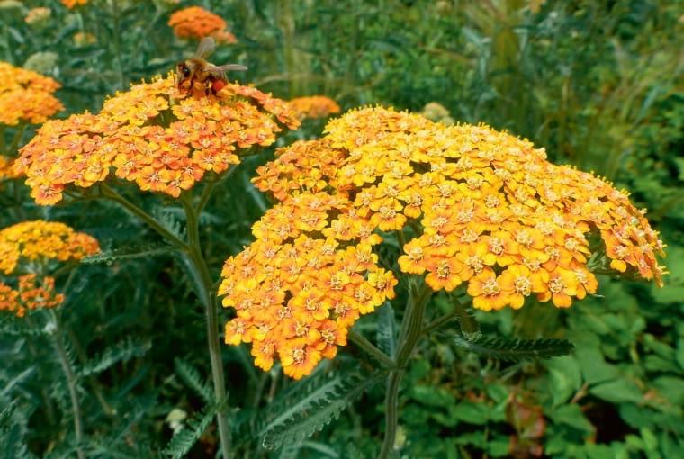 Krwawnik pospolity. Achillea millefolium 'Terracotta'. Krwawniki nie mają wrogów. Młodych listków krwawnika pospolitego używamy wiosną do sałatek, starsze są szkodliwe także dla zwierząt.