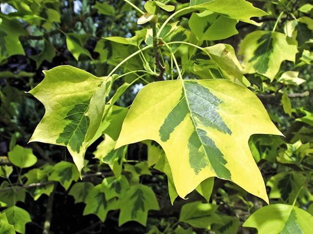 LIRIODENDRON TULIPIFERA 'AUREOMARGINATUM', (VARIEGATED TULIP TREE)