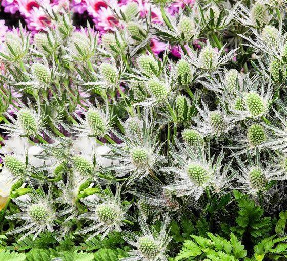 SLOWA KLUCZOWE: QUESTAR_SILVER alpejski alpinum eryngium mikolajek