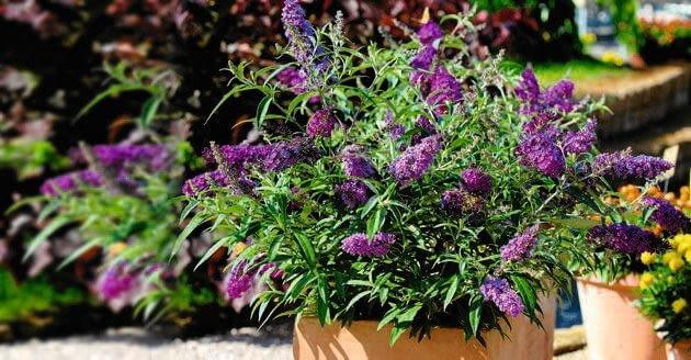 'Buzz Violet' jest miniaturką sadzoną w pojemnikach. Podobna do niej odmiana ?Buzz Sky Blue? ma błękitne kwiaty.