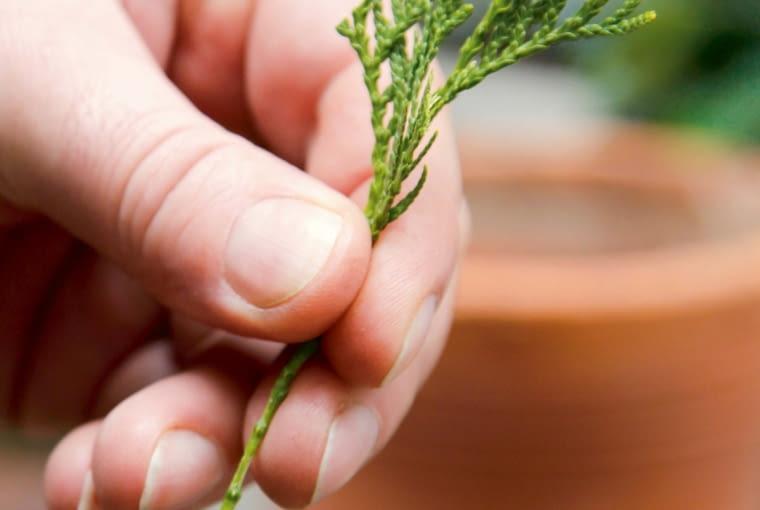 Dolną część pędu zanurzamy w ukorzeniaczu dla sadzonek zdrewniałych i sadzimy w wilgotnym podłożu z torfu (2 części) i piasku (1 część).