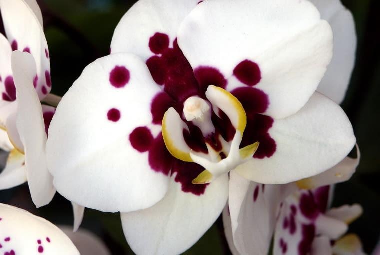 Falenopsis - odmiana 'Taiwan Glory'