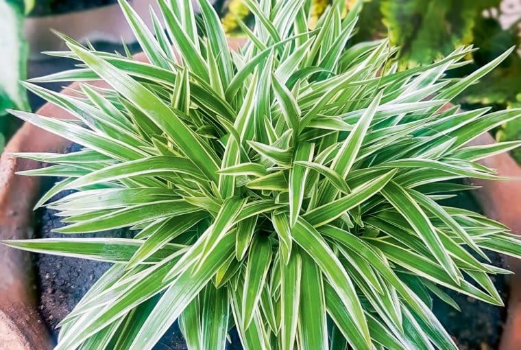 Zielistka czubiasta (Chlorophytum comosum 'Ocean')