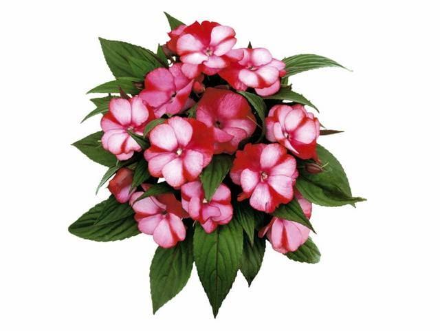 nowości kwiatowe, kwiaty na balkon, Niecierpek nowogwinejski 'Amuna'