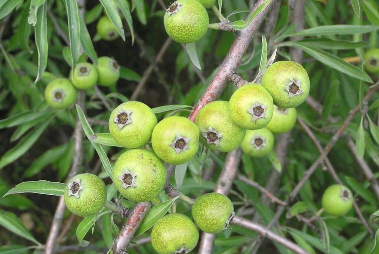 Grusza wierzbolistna, owoce