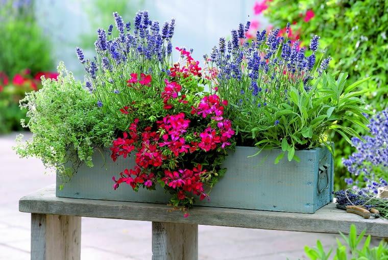 Lawenda pachnie nie tylko wtedy, gdy kwitnie. Silny aromat wydzielają także jej rozgrzane w słońcu liście.Holzkasten mit Krutern und Geranie :Lavendel Aromatic Blue ( Lavandula angustifolia ), Salbei ( Salvia ), Pelargonium peltatum ( Hngegeranie ), Thymian ( Thymus )61037905Bezug Bank : Holzwerk - A, info@holzwerk-a.de 0551 - 3883148